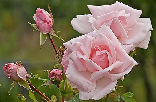 Роза одним из главных символов Болгарии